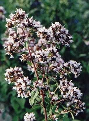 Oregano BIO - origanum compactum