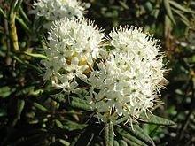 Moeraspalm - ledum-/ rhododendron groenlandicum