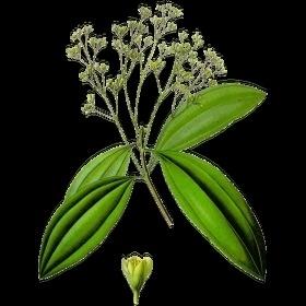 Saro BIO - cinnamosma fragrans
