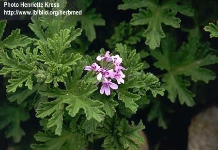 Geranium bourbon BIO - pelargonium x asperum var. bourbon