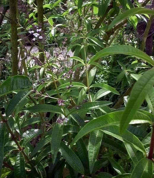 Verbena 100 % BIO - lippia citriodora