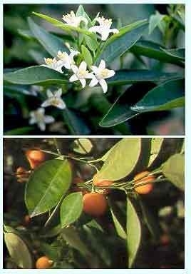 Mandarijn Blad BIO - citrus reticulata var mandarina