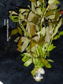 Hygrophila polysperma Belgisch Groen