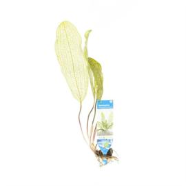 Aponogeton madagascar Gaasplant