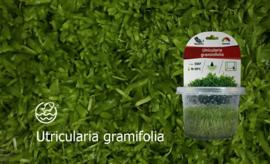 Utricularia gramifolia