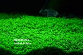 Hemianthus callitrichoides