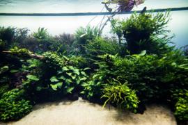 Mos in je aquarium, een prachtige aanwinst!