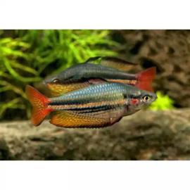 Houden en verzorgen van regenboogvissen
