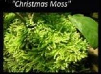 Vesicularia montagnei 'Christmas Moss
