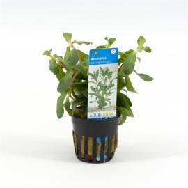 Ammania senegalensis rood