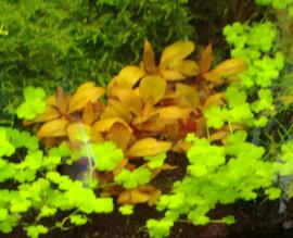 Aquariumplanten voorgrond