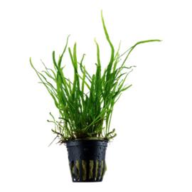 """Microsorum pteropus """"Trident"""" (M. pteropus """"Split narrow leaf"""")"""