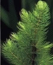 Ceratophyllum demersum  Hoornblad