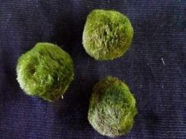 Chladoflora  (Mosbol)