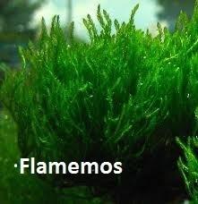 Taxiphyllum sp. 'Flame Moss portie