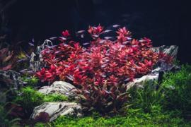 Prachtige en gezonde aquariumplanten