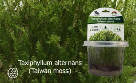 Taxiphyllum alternans (Taiwan moss)