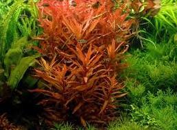 Ammania gracilis rood