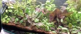 Starterspakket Aquariumplanten