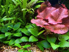 Waterplanten of moerasplanten in je aquarium?