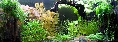 Hoe jij jouw aquariumplanten gezond en prachtig laat groeien, in 21 dagen