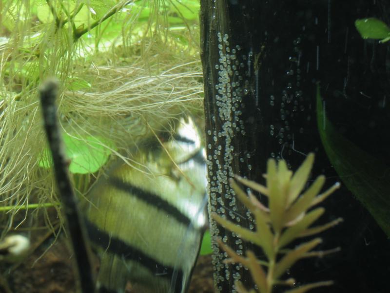 Kweken met aquariumvissen