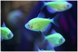 Genetisch gemanupileerde vissen