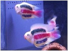 Getatoeerde vissen