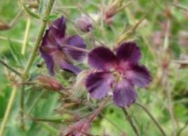 Paarse geranium Bloemenessence (multidimensioneel)
