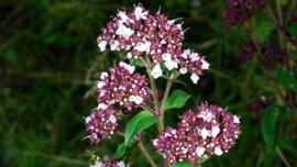 Origanum vulgare - 30 ml