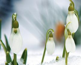 Sneeuwklokje  (Plantspirit extra)