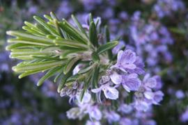 Rosmarinus officinalis - 30 ml