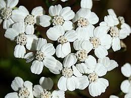 Achillea millefolium - 30 ml