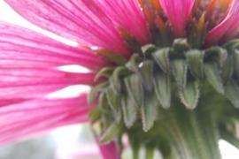 Echinacea - 30 ml