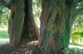 Yew Tree - Alton Priors (Church of all Saints)