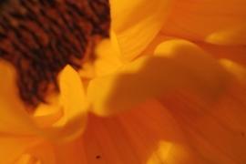Calendula officinalis - 50 ml