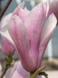 Cornalijn Bloemen Essences  (Bloesemremedie Producten)