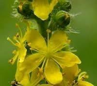 Agrimonia eupatoria - 30 ml