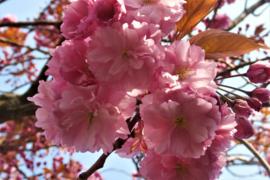 Japanse kers Bloemenessence