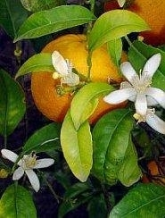 Oranjebloesem Bloemenessence