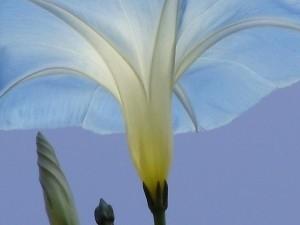 Blauwe Winde Bloemenessence (multidimensioneel)