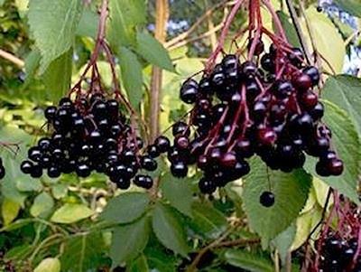 Sambucus nigra - 50 ml