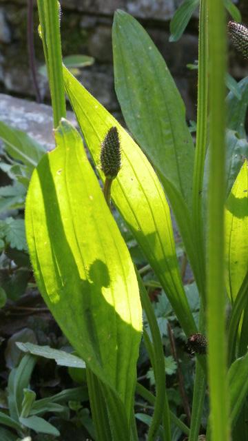 Weegbree Plantspirit Essence