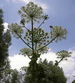 Engelwortel Bloemenessence