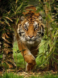 Diamond painting prachtige tijger (60x45cm)(full)