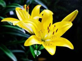 Diamond painting prachtige gele bloemen (50x40cm)(full)