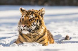 Diamond painting tijger in de sneeuw (60x40cm)(full)