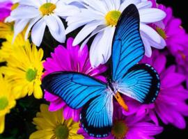 Diamond painting blauwe vlinder (60x40cm)(full)