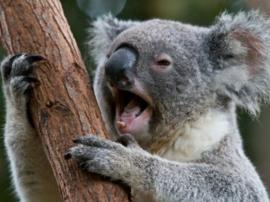 Diamond painting koala beertje (50x40cm)