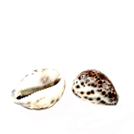 TIGER COWRIE SHELL XL